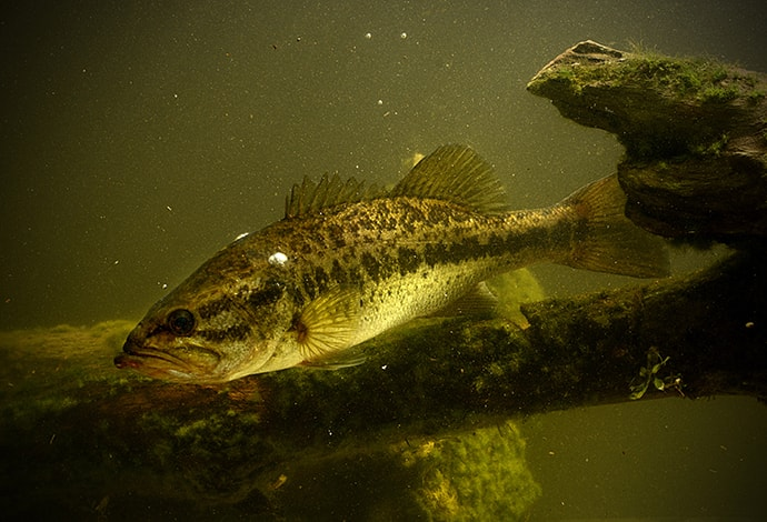 largemouth bass-micropterus salmoides