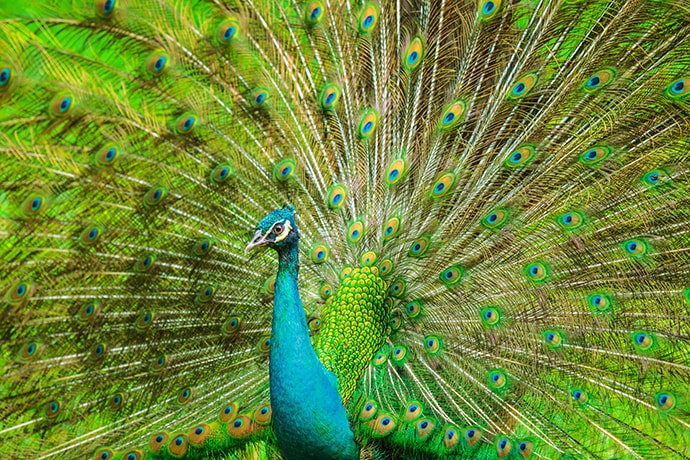 indian peafowl-pavo cristatus