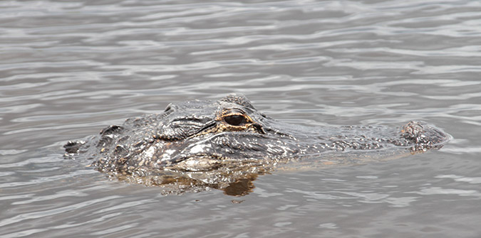 Alligators You Will Encounter on an Everglades Airboat Tour - Everglades Holiday Park