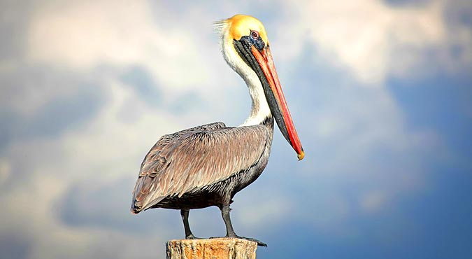 brown pelicans in the everglades
