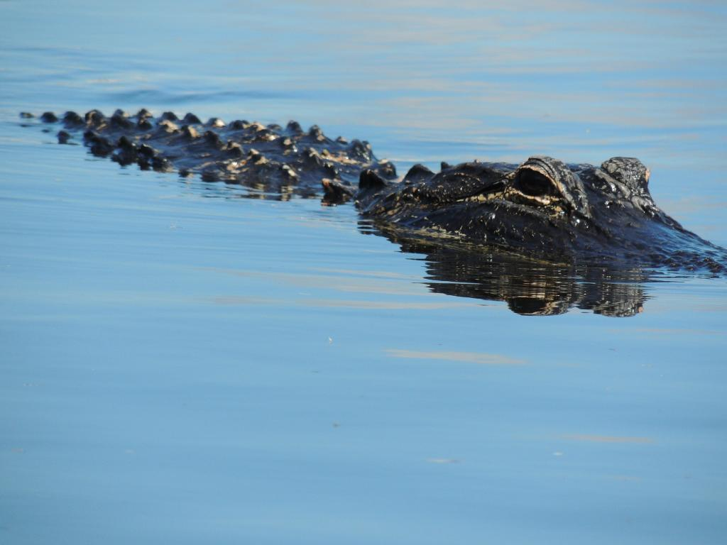 Why Alligator Rescue Efforts are Important