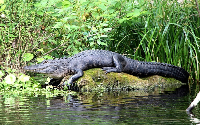 Check Out The American Alligator At Everglades Holiday Park