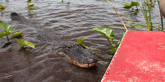 How to Avoid Alligator Attacks in the Everglades - Everglades Holiday Park