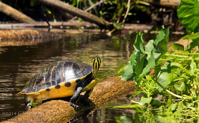 Yellow bellied slider, just on of the amazing animals in the Everglades